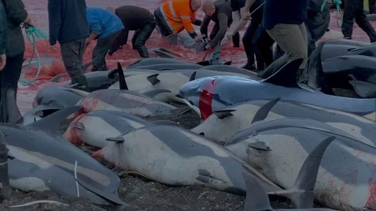 استخدام السكاكين أو الحراب، تقطيع الدلافين